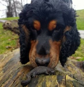 Rocky great crested newt detection dog