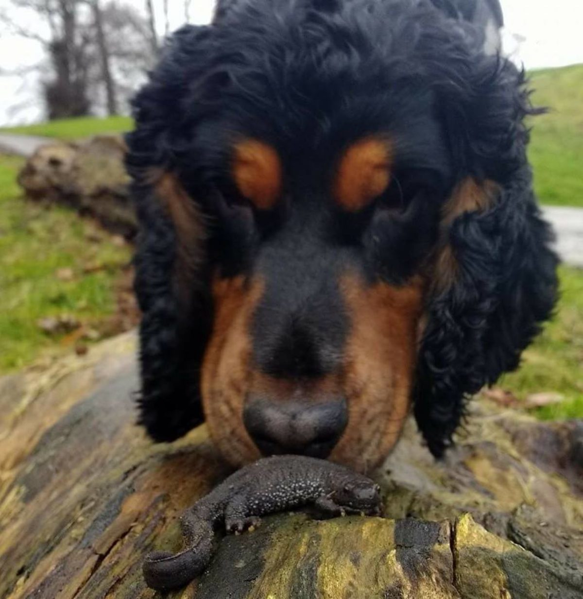 great crested newt detection dog