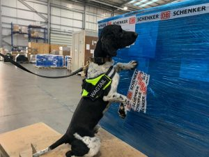 Free running explosive detection dog Ross